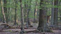 Eichenhainbuchenwald